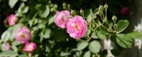 薔薇花種子的養殖方法