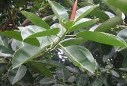橡皮樹的養殖方法和注意事項