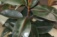 橡皮樹有毒嗎?出現葉子發黃是什么原因?