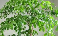 幸福樹的養殖方法要點有哪些?掉葉子是怎么回事?