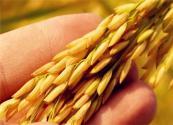什么是雜交水稻?
