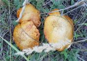 草菇木霉的防治措施要點有哪些?