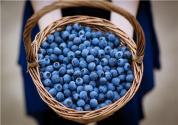 藍莓的種植技術是什么?有什么功效與作用?