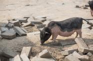 農業農村部:非洲豬瘟防控依然復雜嚴峻