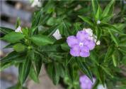 紫茉莉什么時候播種