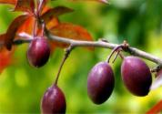 紫葉李果實什么時候成熟