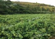 渭南市富平县近景区200亩园地50年超长转让!