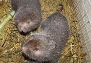 竹鼠的价格多少一斤?怎么做才好吃?