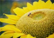 2019年向日葵的价格多少钱一斤?葵花籽油的功效与作用