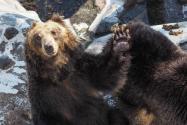 狗熊怎么過冬?
