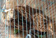 毒殺云雀會被刑拘!有多少只云雀被毒殺?是我國幾級保護動物?