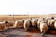 2019-2020年新手養羊需要注意什么?這5點很重要!