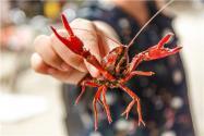 2019年11月最新龍蝦價格是多少?它有哪些養殖技術?