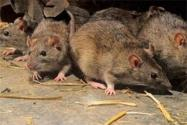 全市無新增鼠疫是什么情況?哪里發生鼠疫了?怎么預防最有效?
