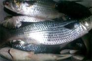 野生烏頭魚價格在多少錢一斤?最佳垂釣時間在什么時候?