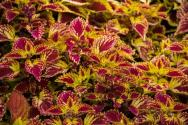 紫蘇葉是什么?種植技術要點有哪些?