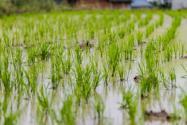 水稻種植過程的順序是怎樣的?育苗技術要點有哪些?