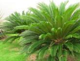 蘇鐵是喬木還是灌木植物?水肥管理要點有哪些?