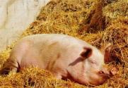 重慶生豬養殖項目全面開工!確立新增產能100萬頭目標