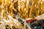 2020年種玉米有沒有補貼?每畝補貼標準是多少?