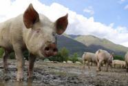 農業農村部:全國生豬生產進入止降回升轉折期,那豬價什么時候會跌?
