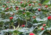 中藥重樓別名叫什么?種植對土壤的要求有哪些?