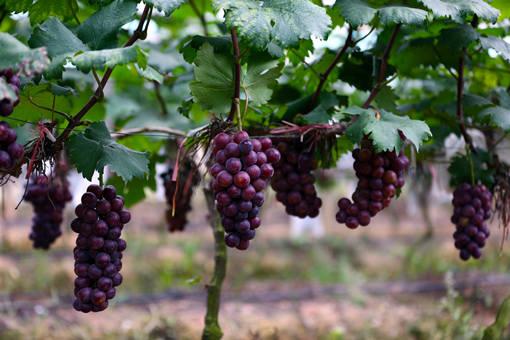 2020年适合栽种的七大味美汁甜的优质葡萄