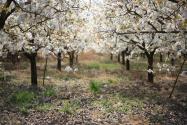 一年之計在于春:春季梨樹栽培管理要點匯總!