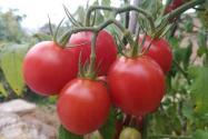 番茄從播種到結果需要多久?什么時候種植?技術有哪些?