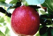 可保鮮1年的蘋果是怎么回事?是什么品種?保鮮這么久還能嗎?
