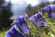 龍膽草多少錢一斤?2020年種植前景如何?