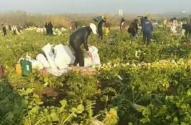 200畝蘿卜被拔光是什么情況?被誰拔光的?菜農損失多少?