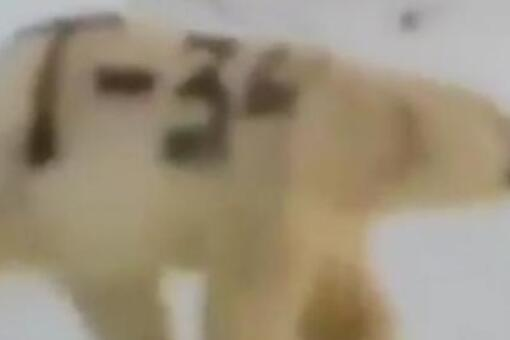 北極熊身上被涂字是什么情況?為什么涂字?有哪些影響?