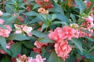 鳳仙花從播種到結果需要多久?什么時候種?怎么種植?