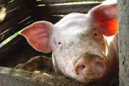 在農村養100頭豬一年能賺多少錢?附養豬管理