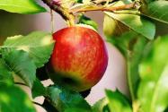 現在各地蘋果多少錢一斤?2020春節前后會漲價嗎?