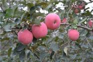2020年種什么蘋果賺錢?這4個品種很有前景!建議收藏!