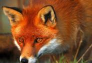 大興安嶺紅狐是怎么回事?長啥樣?我國哪些地區還有分布?