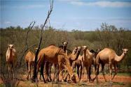 澳大利亞射殺駱駝是怎么回事?為什么要這么做?真相讓人無語!