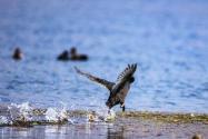 三只极危鸟类青头潜鸭现身云南!具体长啥样?是国家保护动物吗?