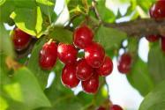 2020年山茱萸種植前景如何?高產種植技術有哪些?