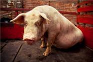豬舍怎么建最好?應注意哪些問題?如何做好消毒?