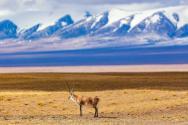 藏羚羊大規模遷徙是什么時候?持續多久?為什么遷徙?