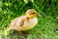 養鴨喂料如何省錢又增收?如何多產蛋?這3個訣竅能幫大忙!