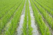水稻種植保險政策是怎樣?賠償標準是多少?保費和賠付流程請收好