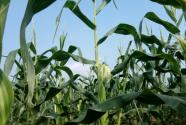 2017年玉米價行情分析:政策糧拍賣,國內玉米后市價格將走向何方?