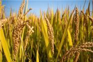 2017年種糧農民直接補貼(糧食直補)政策有變化嗎?補貼如何發放?