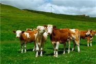 糧改飼政策擴至所有奶牛養殖大縣