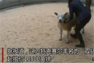 世界上最贵的羊332万元成交!具体是怎么回事?什么羊价格这么贵?附详情!