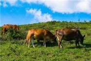 黃牛的品種有幾種?附養殖技術要點!